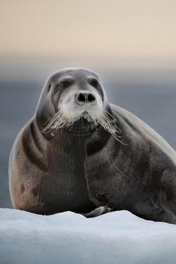 冰上面的海豹动物摄影图片