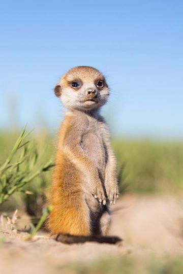站立的可爱狐獴动物摄影