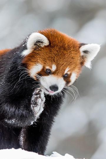 举着手掌的可爱浣熊动物摄影图片
