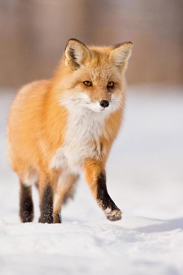 雪地里散步的狐狸动物摄影图片