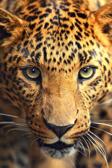 正面特写豹子图片