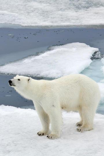 高清野生北极熊图片
