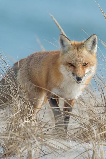 高清晰狐狸图片