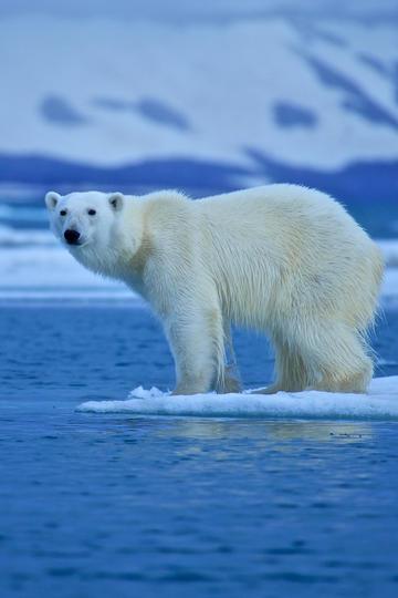 站在水中央的野生动物北极熊图片