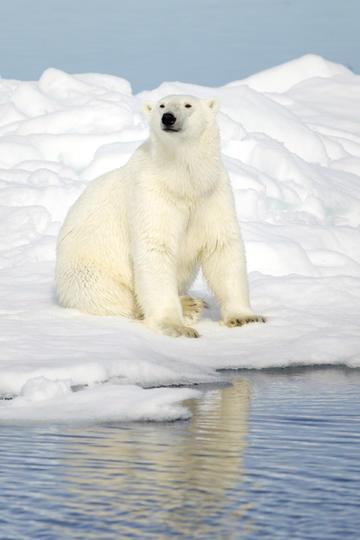 站在雪地里野生动物北极熊图片