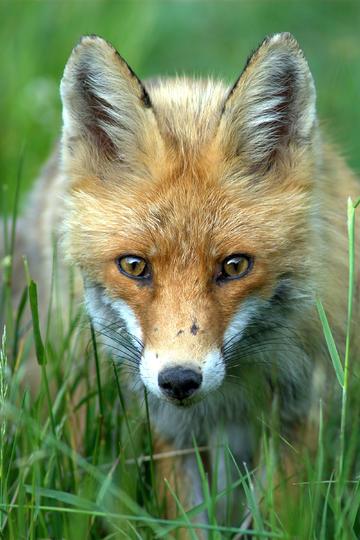 可爱动物狐狸图片