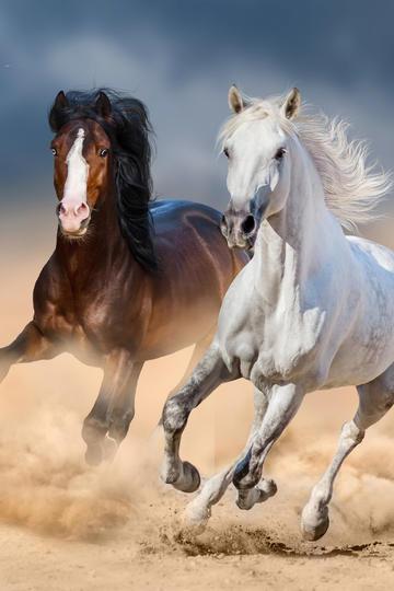 高清两匹奔跑的骏马图片