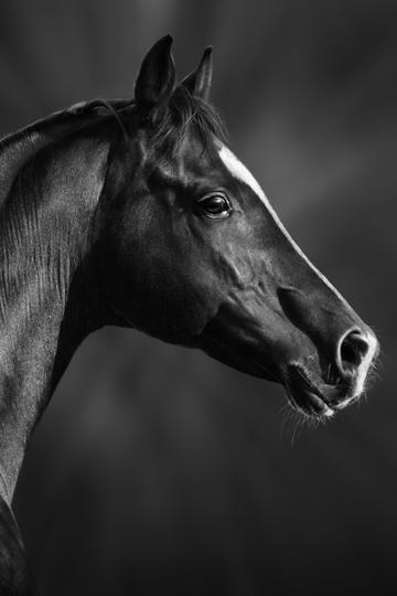 高清黑骏马图片
