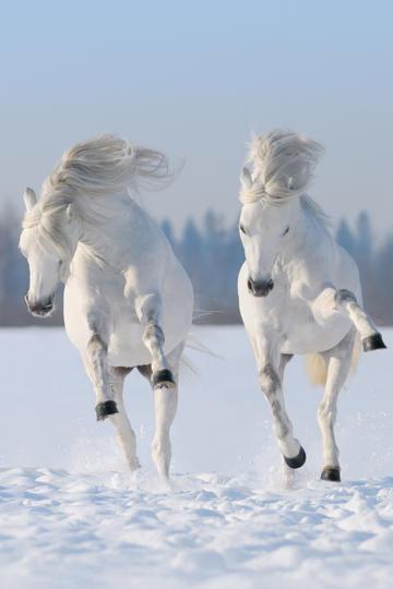两匹正面奔腾骏马图片高清