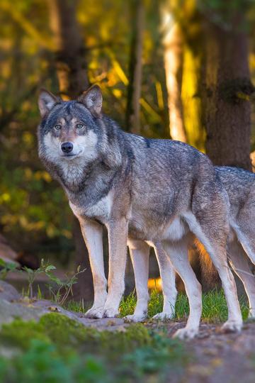 森林里的野生动物狼图片