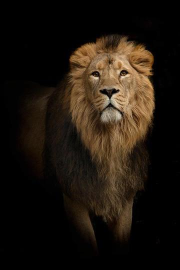 高清雄狮图片