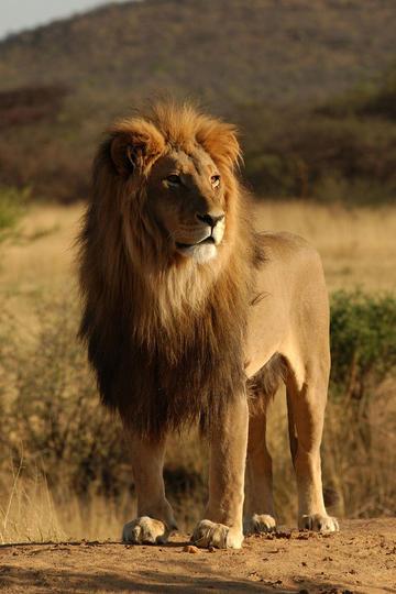 高清狮子图片