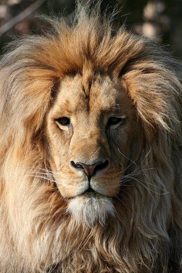 非洲雄狮图片高清