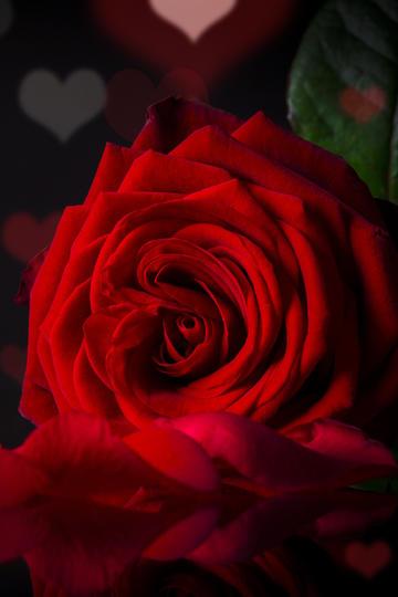唯美红色玫瑰花图片