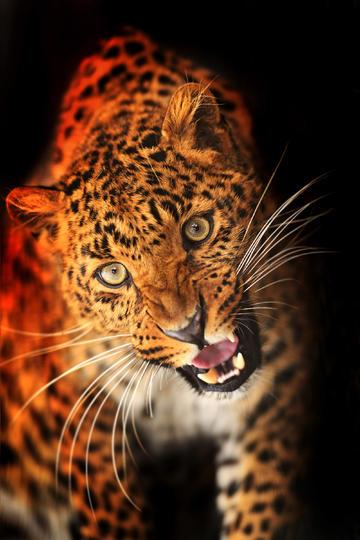 凶猛的金钱豹子图片