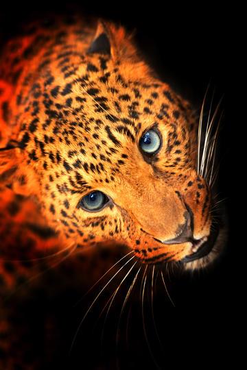 金钱豹子头部图片