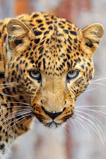 2K高清金钱豹子图片