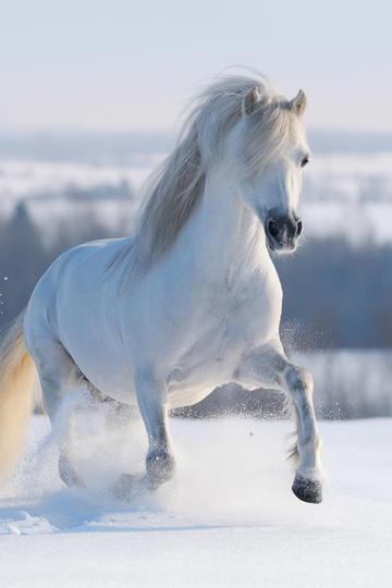 漂亮的白色骏马图片