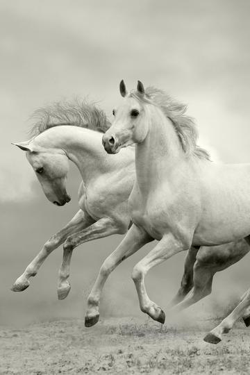 两头白色的骏马图片