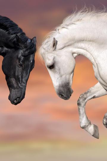 两头骏马图片