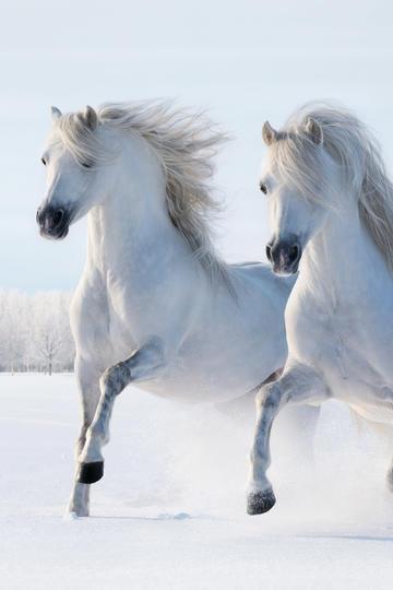 两头奔跑的白色骏马图片