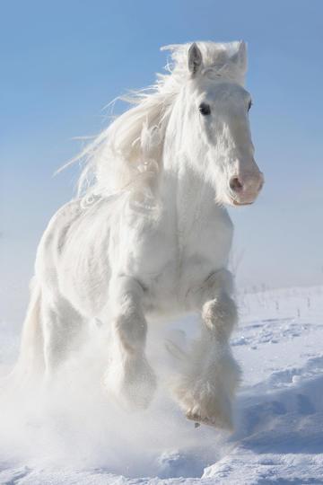 雪中奔跑的白色骏马图片