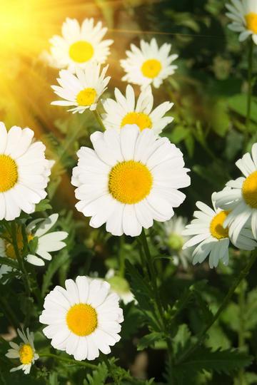 又细又长的小雏菊图片