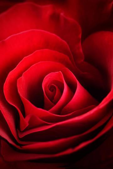 玫瑰花图片大全