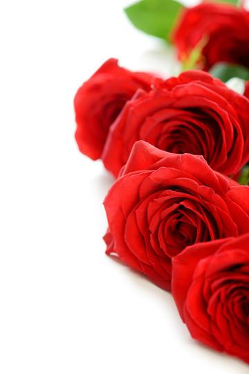 娇艳欲滴的鲜艳玫瑰花图片