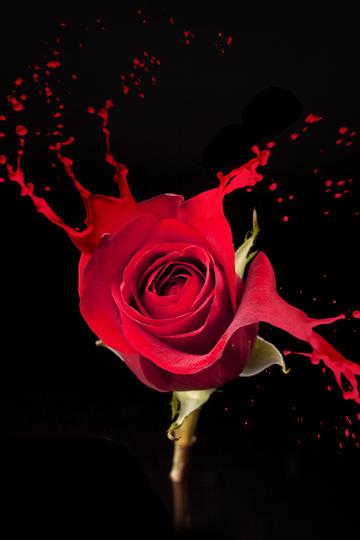 玫瑰花图片高清特写