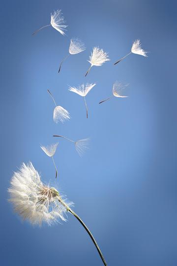 飞舞在天空中的蒲公英鲜花图片
