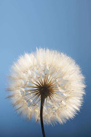 蓝天下的完整蒲公英鲜花图片