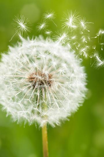 蓝色虚幻背景里飞舞的蒲公英鲜花图片