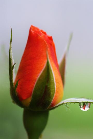 一滴露珠的玫瑰唯美鲜花图片