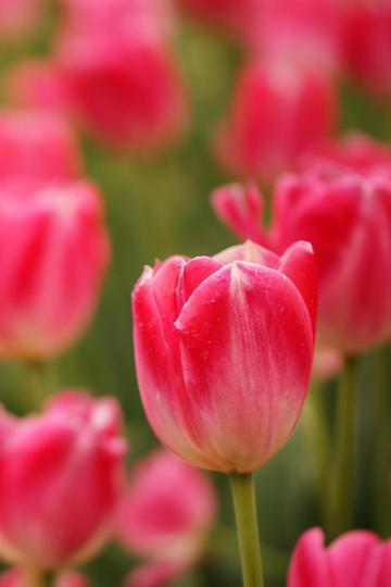 唯美红色鲜花图片
