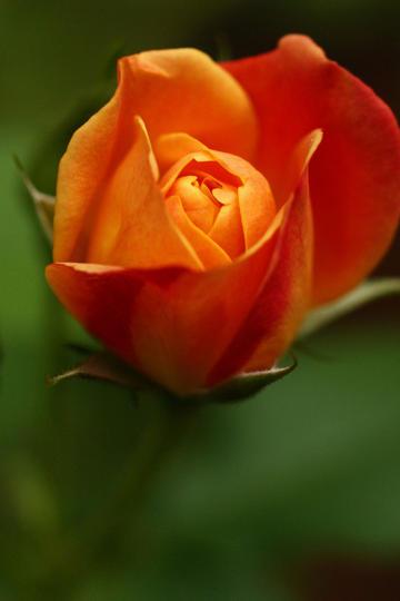 橙色唯美鲜花图片