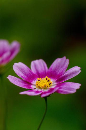 紫色唯美小鲜花图片高清特写