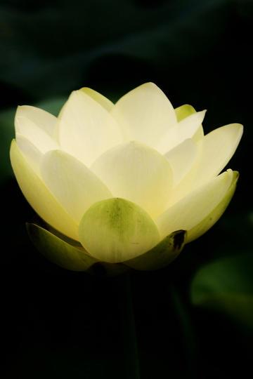 像白色灯光一样唯美鲜花图片