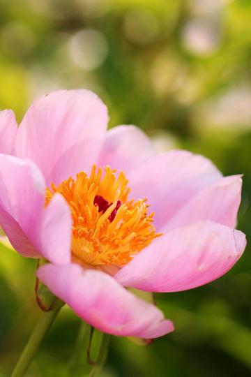 唯美粉红色鲜花图片