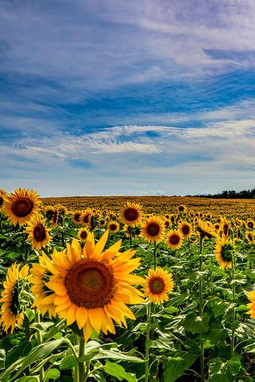 依赖太阳的向日葵花海图片