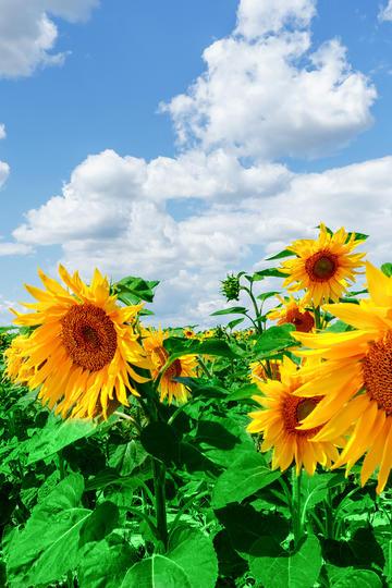 风中凌乱的向日葵花海图片
