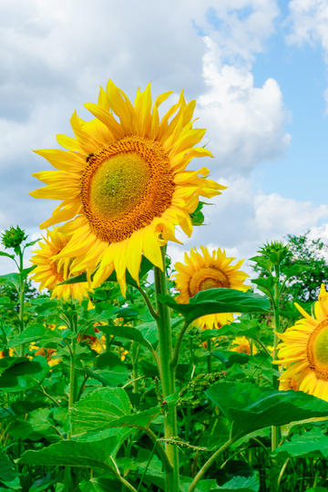 扶摇直上的向日葵鲜花图片