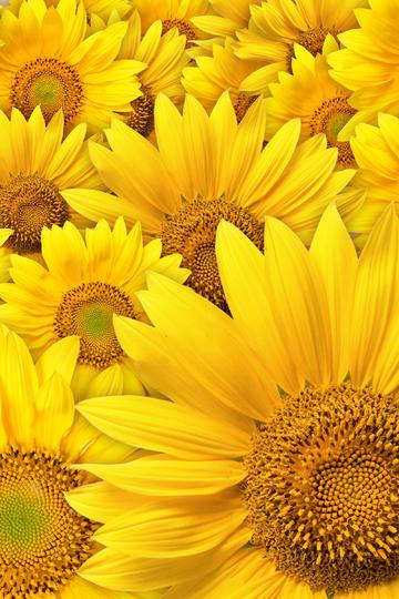 充满活力的向日葵鲜花图片