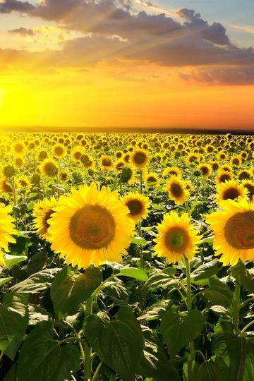 阳光般灿烂的向日葵花海图片