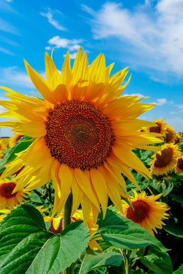 坚强不屈的向日葵花海图片