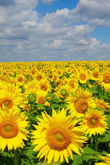 傲然挺立的向日葵花海图片