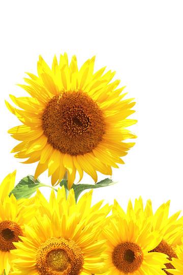 朝气蓬勃的向日葵鲜花图片