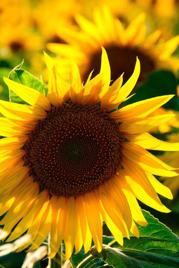 蒸蒸日上的向日葵鲜花图片