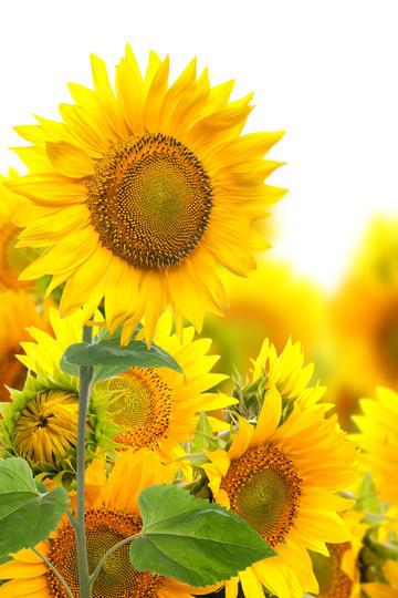 最漂亮的向日葵图片