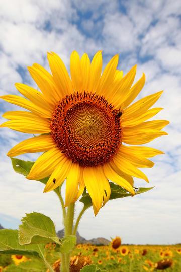 蓝天白云下向日葵鲜花图片
